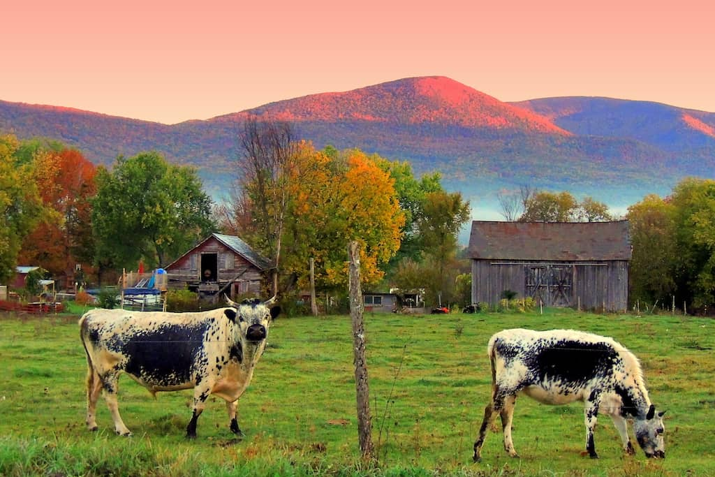 two cows grazing in a field in Sunderland, Vermont