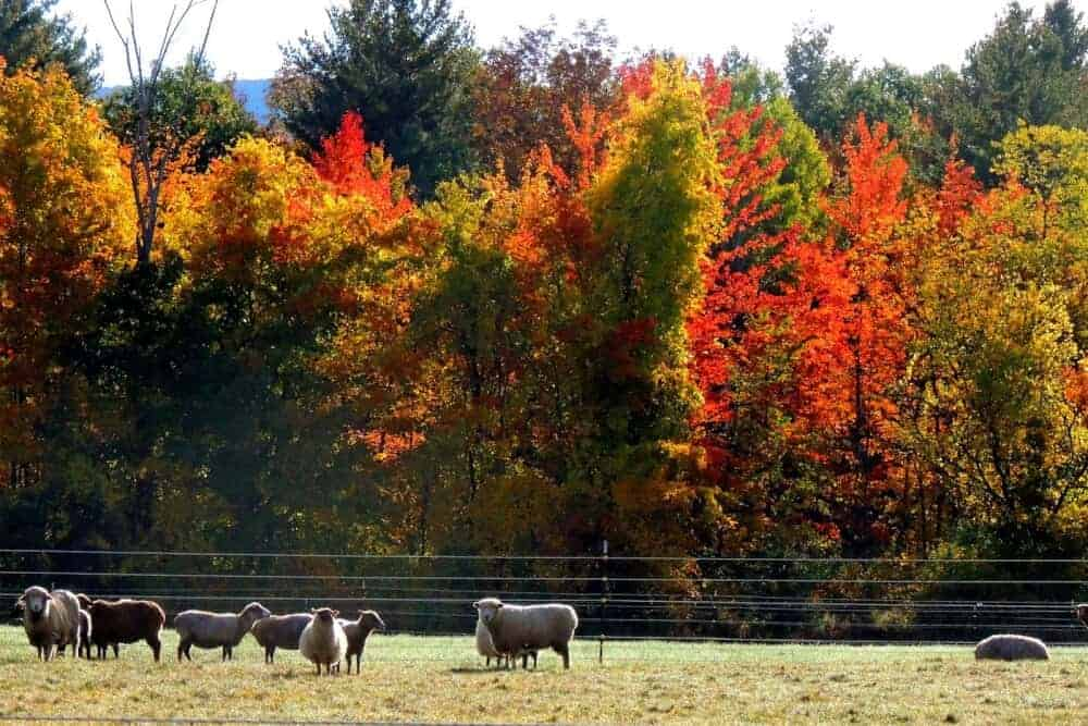 sheep in a field on Meyers Road in North Bennington/Shaftsbury. Copyright: Tara Schatz
