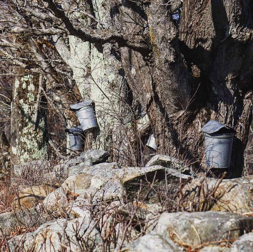 maple sap buckets hang on maple trees during an early Vermont spring.