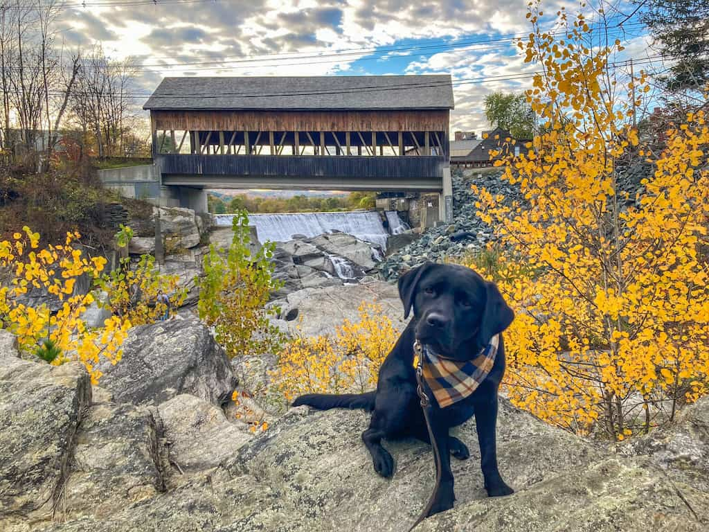 A black lab puppy poses in front of the Quechee Covered Bridge in Quechee, Vermont