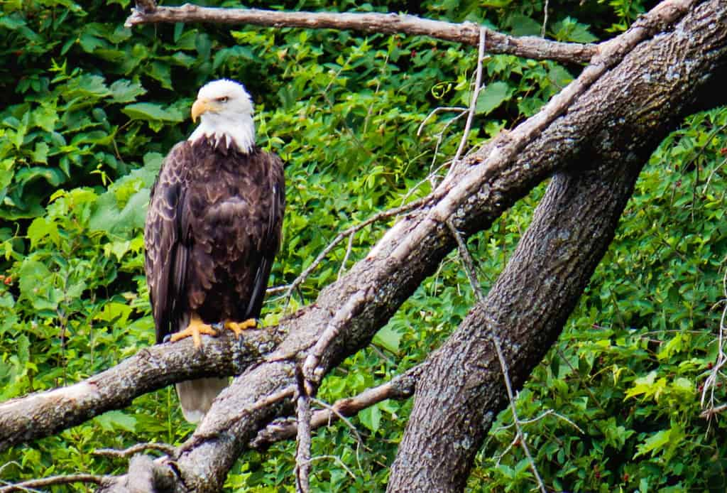 a bald eagle perched above the Connecticut River in Vermont.