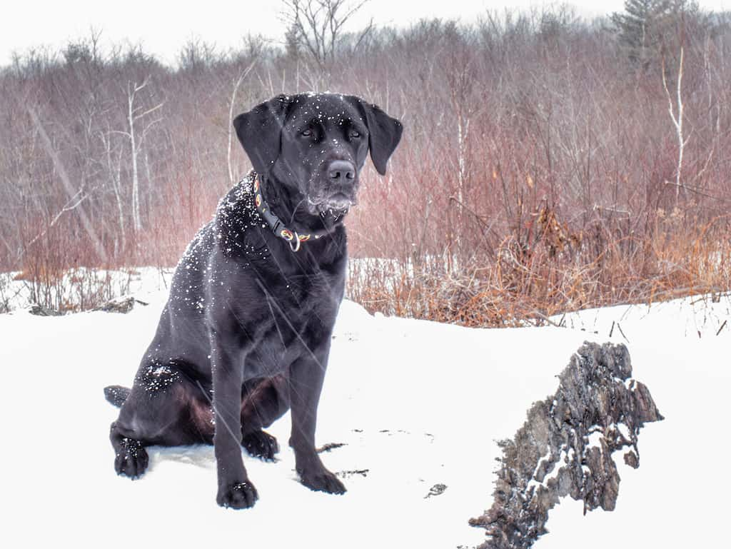Our black lab, Flynn sitting in the snow and looking at the camera.