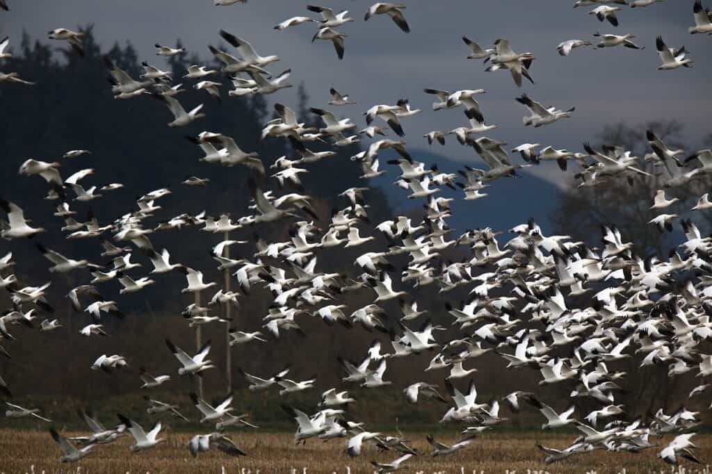 Snow geese in Addison, VT