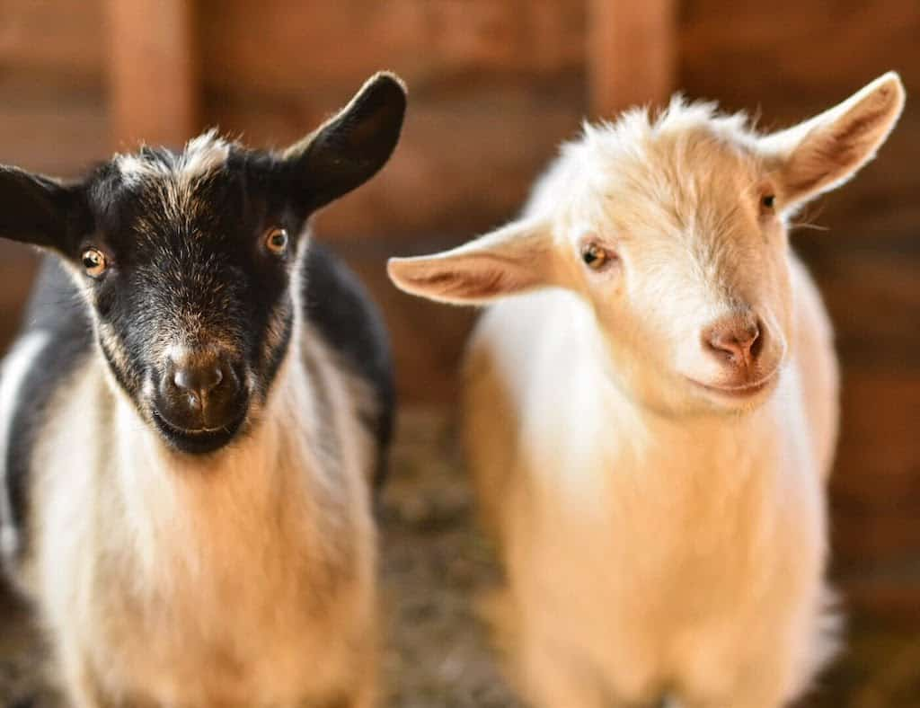 Two baby goats in Vermont.