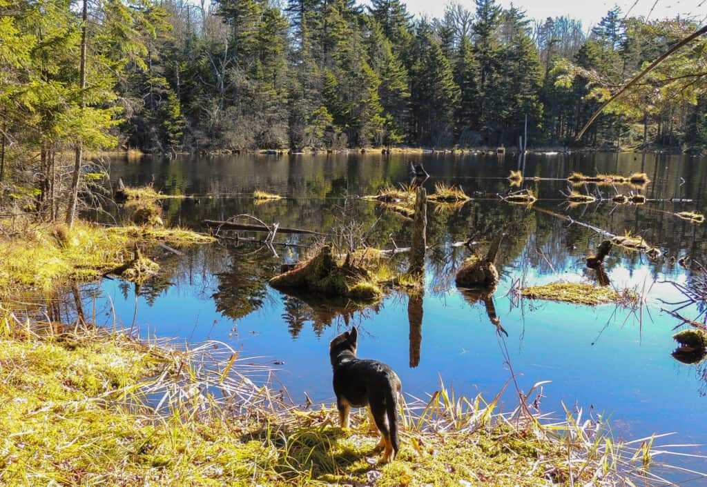 A small German Shepherd puppy stands at the edge of Adams Reservoir in Woodford State Park in Vermont.