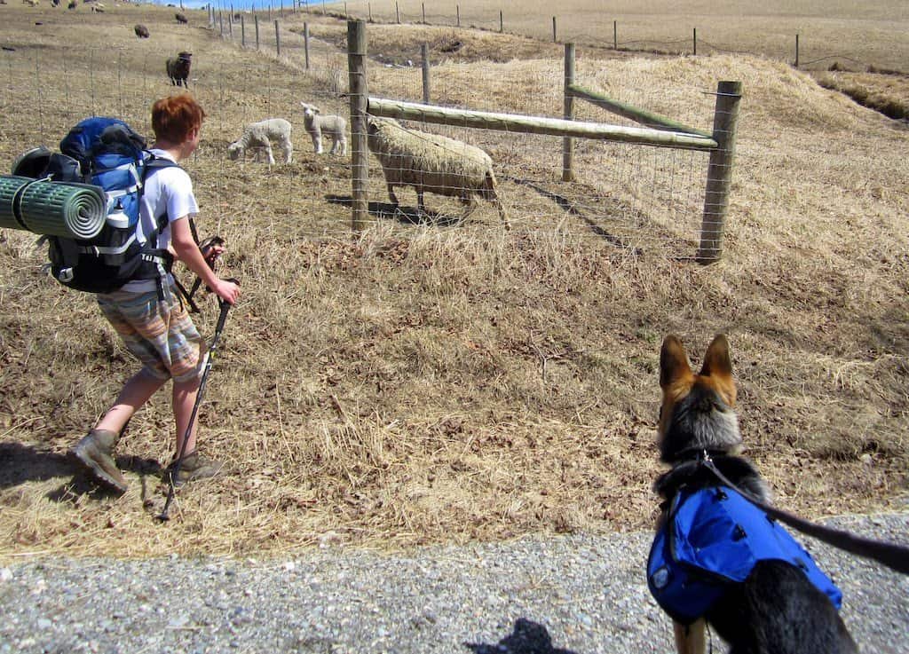 Gabe and our German Shepherd, Ogden, watch baby sheep at Merck Forest in Vermont.