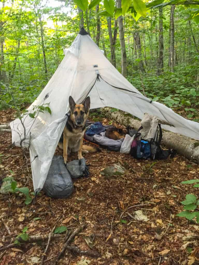 A German Shepherd peaks out of a tent rain fly in the woods of Vermont.