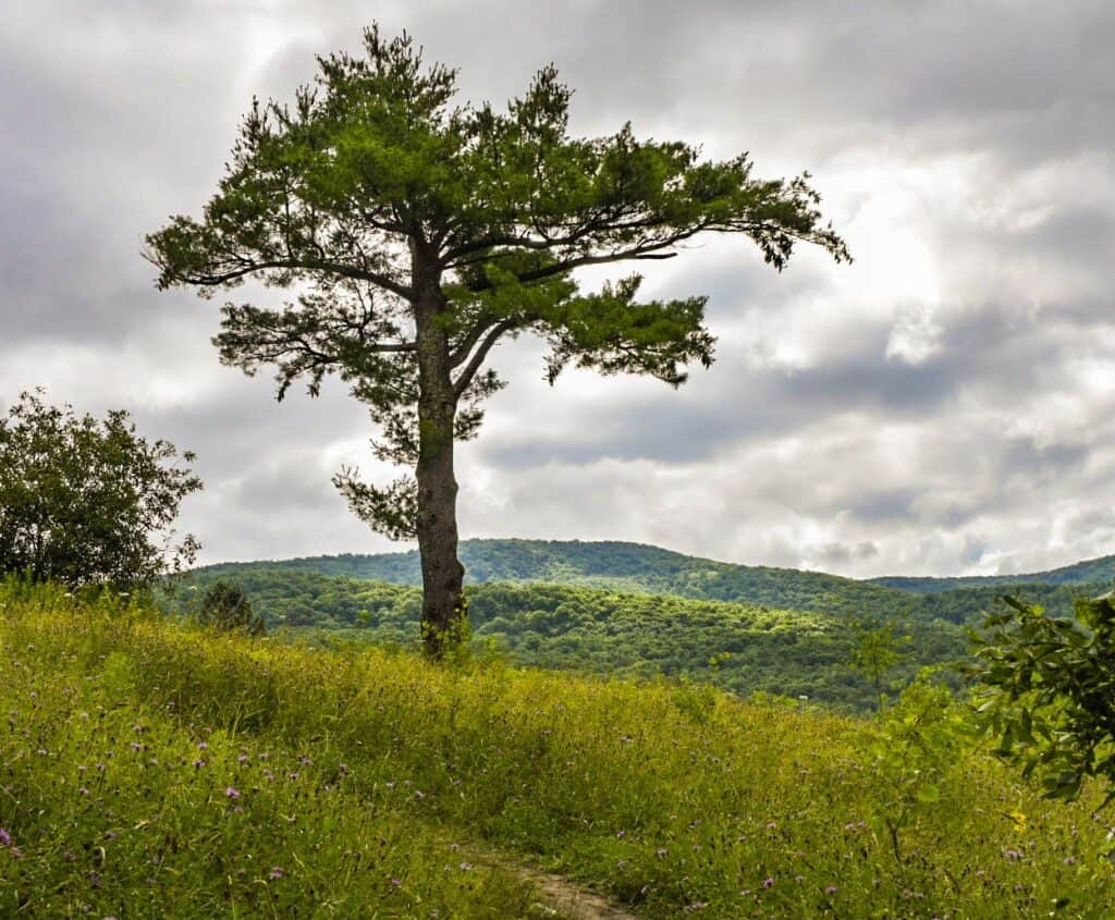 A lone tree stands in the meadow at Taconic Mountains Ramble State Park in Vermont.