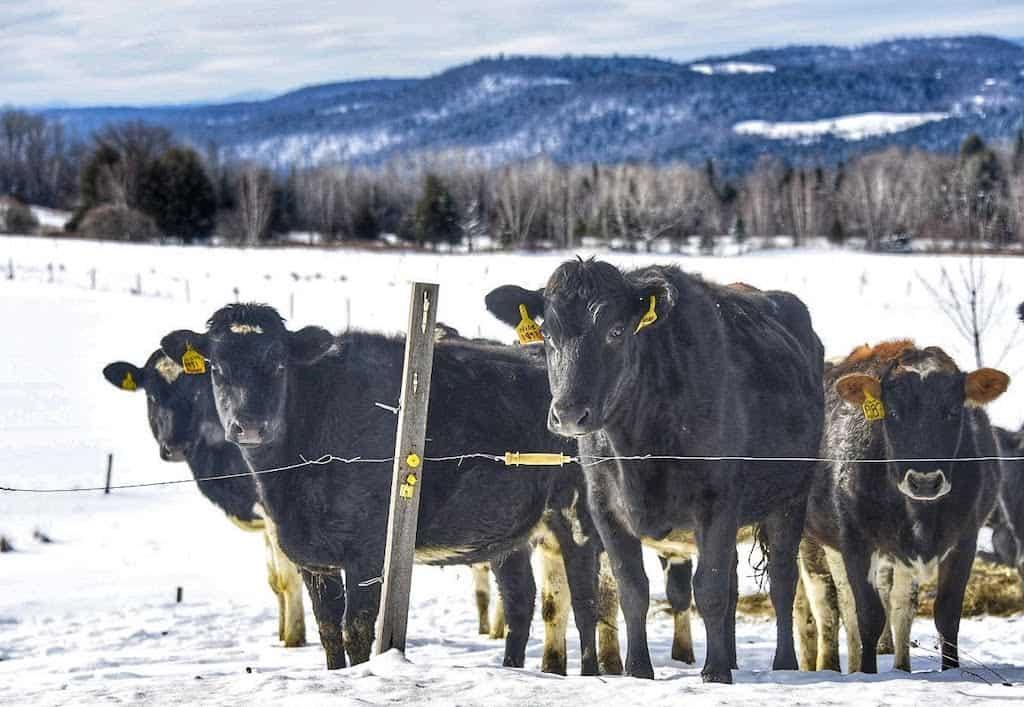 cows in a snowy field in Irasburg, VT.