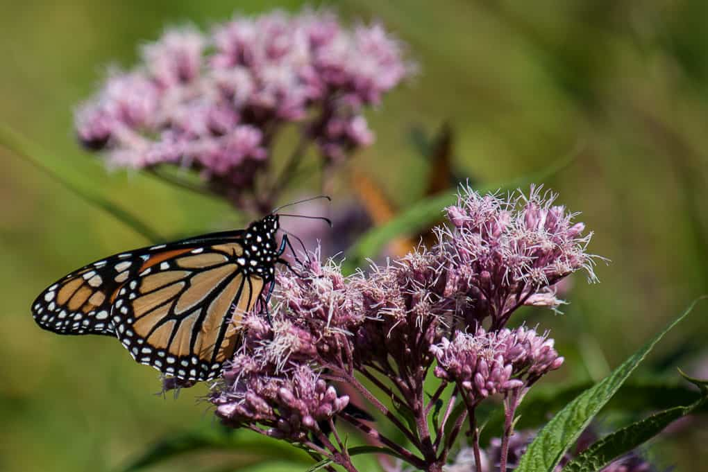 A monarch butterfly on a milkweed flower in Vermont.