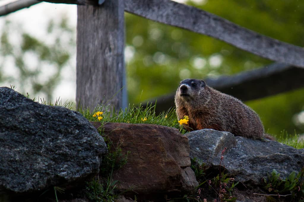A woodchuck standing on a stone wall in Vermont.