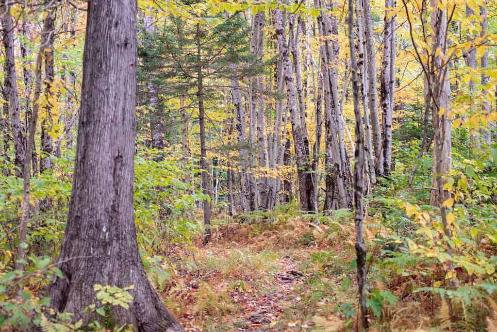 Fall foliage in the woods of the Northeast Kingdom Vermont.