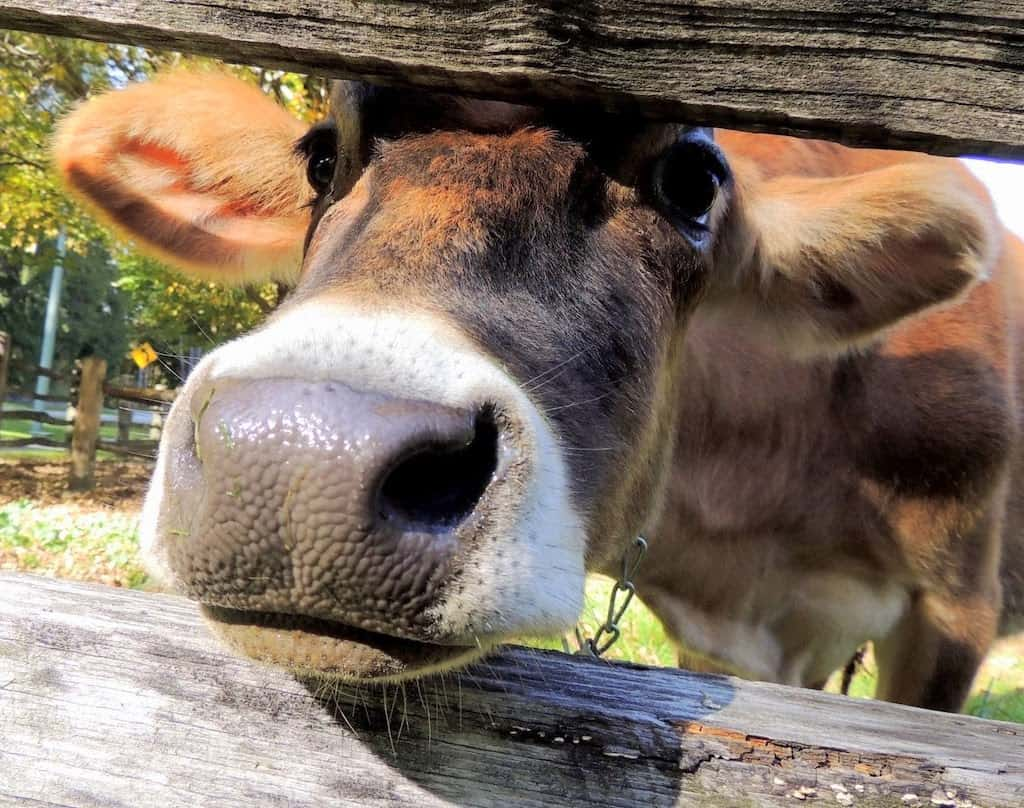 A friendly cow at Billings Farm and Museum in Woodstock, Vermont.