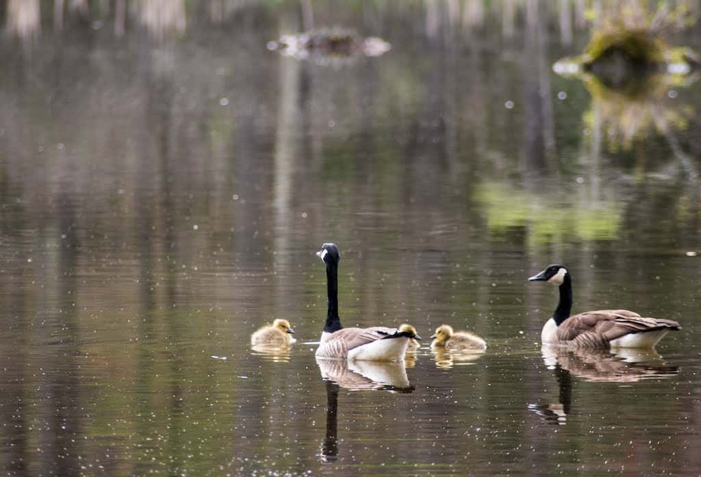 Geese and goslings at Lake Shaftsbury State Park in the spring.