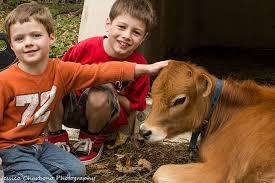 Two kids petting a calf at Sugarbush Farm in Woodstock, Vermont.