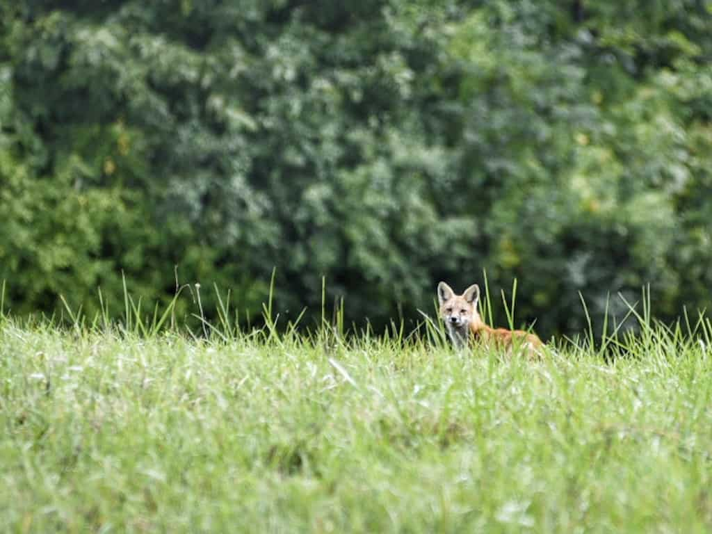 A fox on Fox Hill in South Hero, Vermont.
