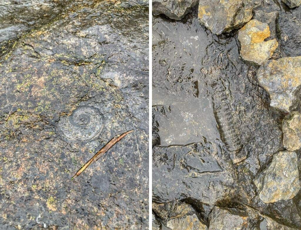 Two fossils found at Goodsell Ridge Preserve in Isle La Motte, Vermont.